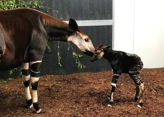 beekse-bergen-okapi-geboren.jpg