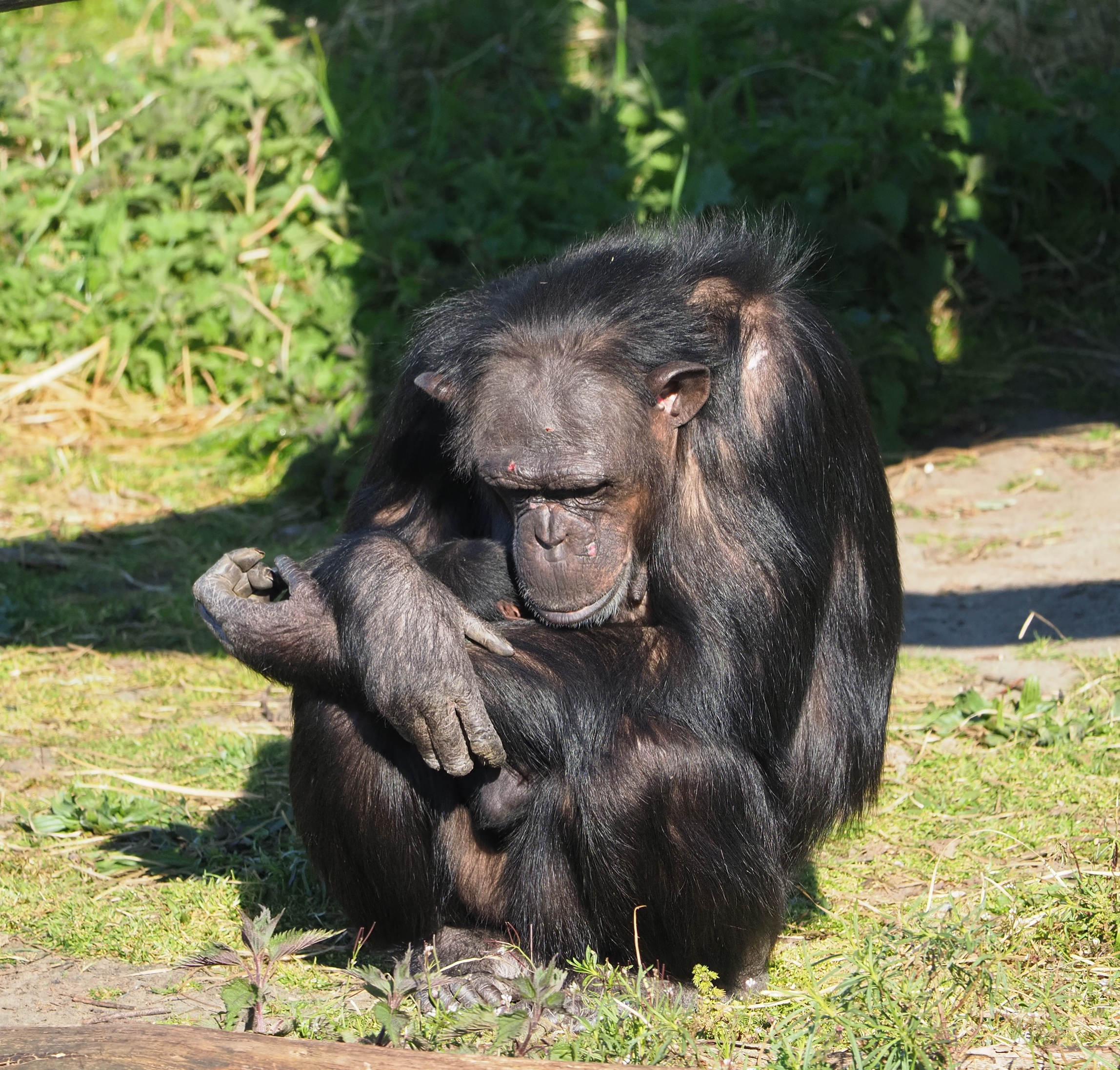 chimpansee_beekse_bergen_geboorte.jpg