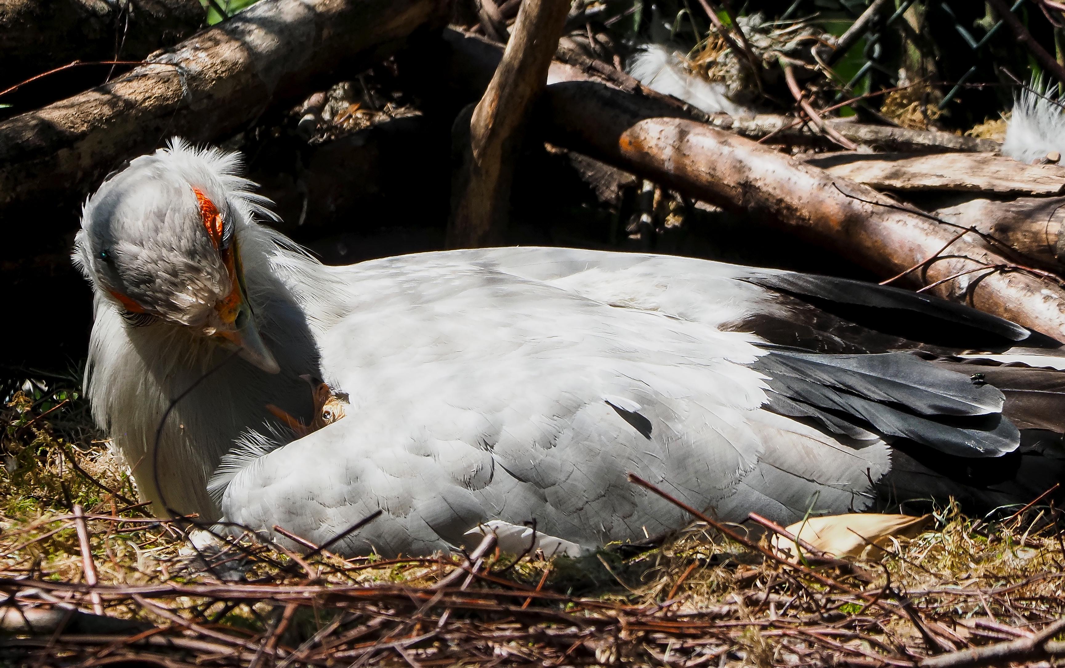 geboorte-secretarisvogel.jpg