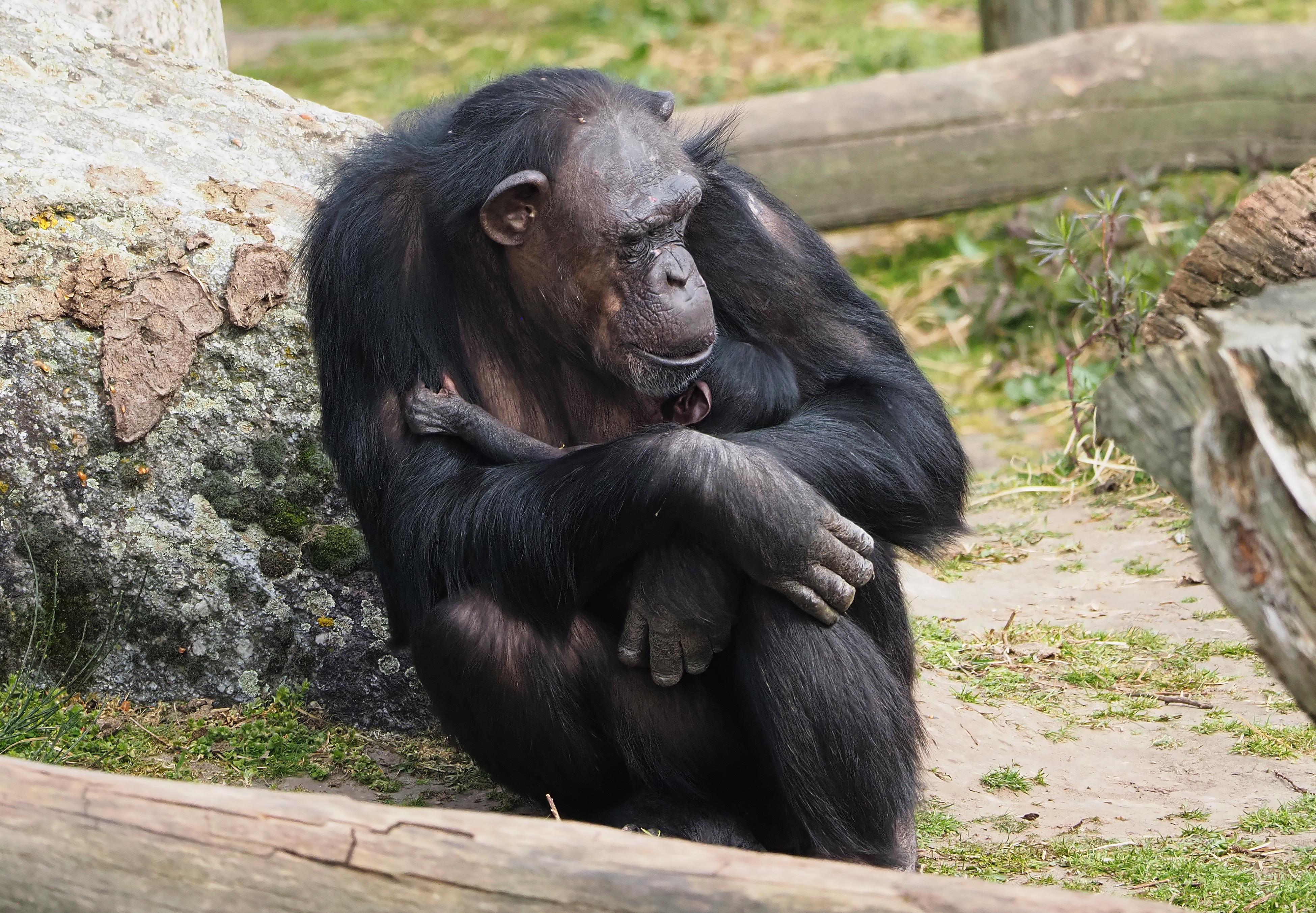 geboorte_chimpansee_beekse_bergen.jpg