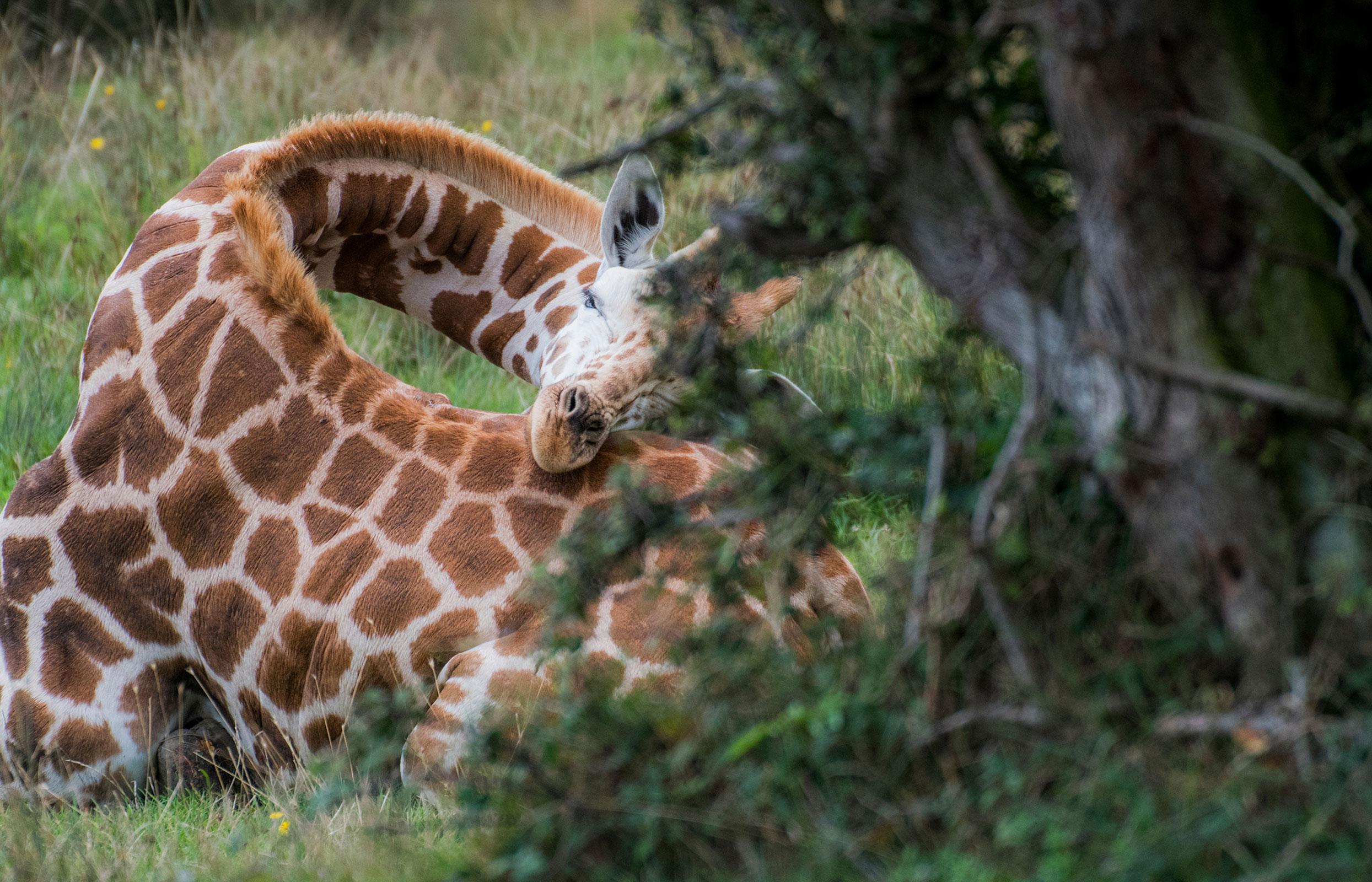 giraffe-slapen-liggend-afrika-beekse-bergen.jpg