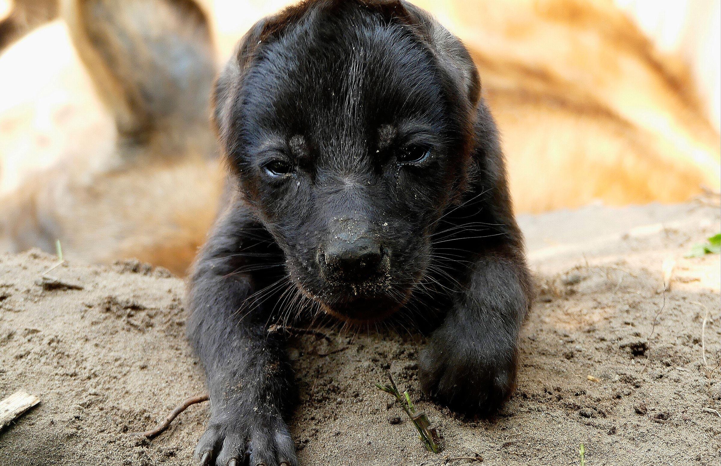 hyena-pup-geboren-beekse-bergen.jpg