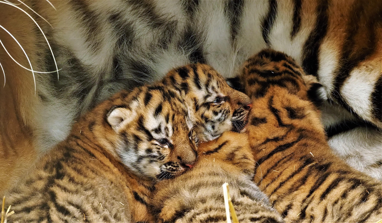 tijgertjes-pas-geboren-%282%29.jpg